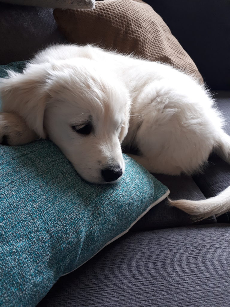 A golden retreiver puppy