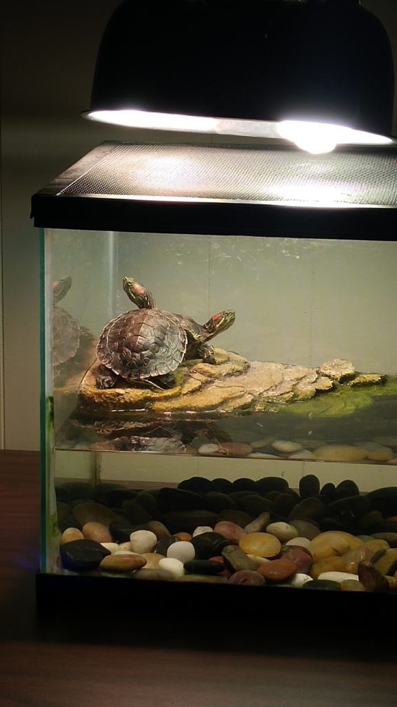 Turtles in a terrarium