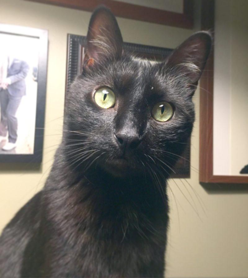 A black short-hair domestic cat